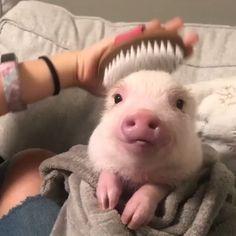 Cute Baby Pigs, Cute Piglets, Baby Teacup Pigs, Teacup Piglets, Baby Piglets, Cute Animal Videos, Cute Animal Pictures, Animal Pics, My Animal