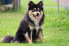 finnish lapphund - Google Search