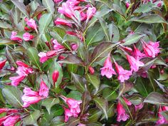 photo: Weigela 'Wine and Roses'  Prune spring flowering shrubs and trees immediately within one month after flowering. These plants set the...