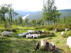 Hesteritt Sollia, Stor-Elvdal, Hedmark, NORWAY Rondane