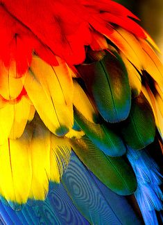"""Colorfull Scarlet Macaw's Feather :: These large parrots are blue, light blue, red, yellow and green. The face is covered in white """"hairs."""" The lower beak is black and the upper is light. This pic look much better for details in a big size."""
