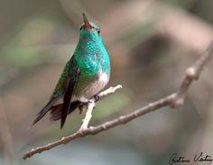 Beija-flor-de-garganta-verde (Amazilia fimbriata)
