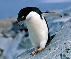 Adelie Penguin Facts from the Discovery Channel :)