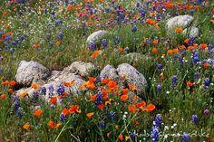 Wildflower USA | ... north america usa california california wildflowers wildflowers California Wildflowers, Real Nature, Stepping Stones, Wild Flowers, North America, Nature Photography, Sunrise, Rainbow, Seasons