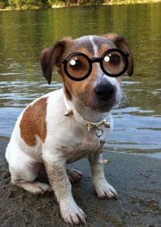 dog, jack russell, river, nerd