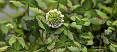 'Tricolori'. Foto:Karna Maj. Hvidkløver, Trifolium repens, god biplante, grøngødningsplante, kvælstofsamlende, flerårig med en krybede vækst med stængler, som slår rod. Man kan få en hængende vækst, hvis man planter i ampler, eller lader planten hænge ud over kanten af krukker. Gode som bunddække under træer. Kan også bruges som kantplanter. Prydsorten 'Silverspur' er grøn med mørk midte.