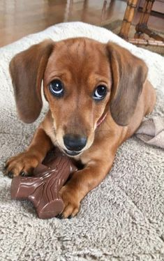 Dog Clothing Who's cuter than you? - Tap the pin for the most adorable pawtastic fur baby apparel! You'll love the dog clothes and cat clothes! Funny Dachshund, Dachshund Puppies, Dachshund Love, Cute Dogs And Puppies, Baby Puppies, Baby Dogs, I Love Dogs, Weenie Dogs, Doggies