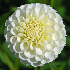 Dahlia 'Snowflake' - pack of 3 tubers - Rose Cottage Plants