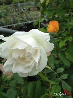Rosa Mme Alfred Carriere | www.filroses.com