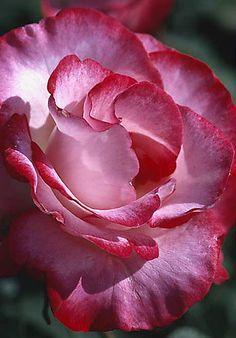 Rose ---  Great close-up - so incredibly beautiful!