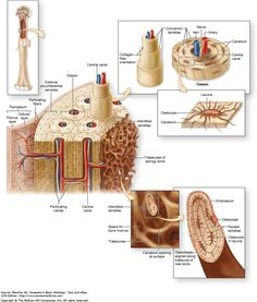 Compact Bone Diagram Copyright The Mcgraw Hill Companies Chapter 8 Bone Bone Human Skeleton Anatomy, Human Anatomy Drawing, Skeleton System, Basic Anatomy And Physiology, Anatomy Bones, Study Board, Quotes For Book Lovers, Diagram, Synovial Joint