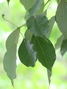 Cinnamomum - Wikipedia, the free encyclopedia