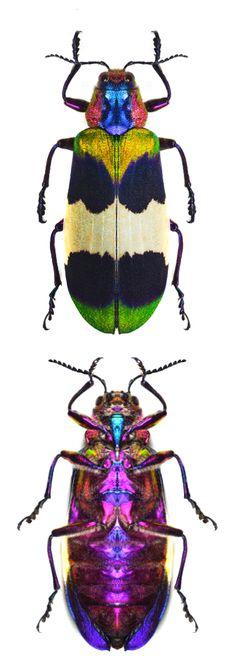 Chrysochroa corbettii