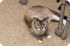 Pictures of Wills a Siamese for adoption in Waynesville, NC who needs a loving home.