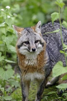 Gray fox is mainly distinguished from most other canids by its grizzled upper parts, strong neck and black-tipped tail, while the skull can be easily distinguished from all other North American canids by its widely separated temporal ridges that form a U-shape.