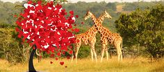 Valentine's at Ol Pejeta! Flying packages, driving safaris, luxury camps, walks, bubbly, chocolates... contact us for more info