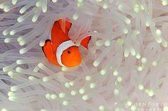 False Clown Anemonefish 01 by Cornforth Images, via Flickr
