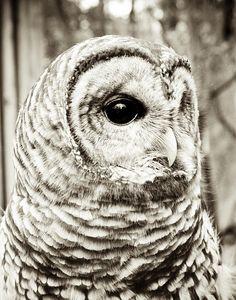 owl, bird, wildlife