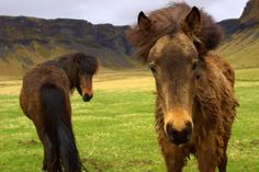 Curious Icelandic horses roaming the countryside of Iceland. #travel #wanderlust #adventure #horses #europe #iceland