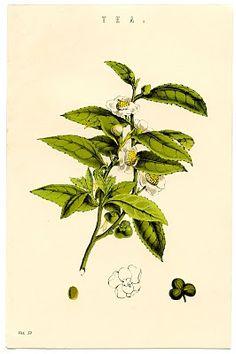Printable Botanical Tea Plant - The Graphics Fairy