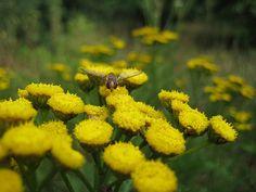 Flower bee on yellow flowers