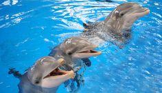 """Felizmente, os golfinhos têm uma solução: comunicação especializada. Como é que o """"modelo evolutivo"""" explica que e uma espantosa capacidade de intender o significado do seu instrutor?"""