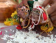 India - Frog marriage is a traditional ritual to appease the gods to bring in rain.