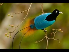 Goldie's Bird-of-Paradise