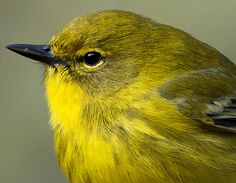 pine warbler by collier holmes, via Flickr