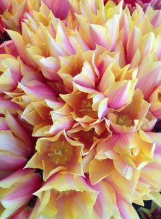 Tulips via Ted Kennedy Watson