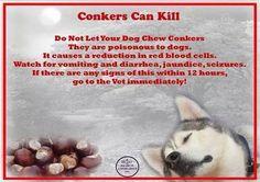 Conkers: Hazardous to dogs.