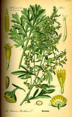 Wormwood, Absinthe - Artemisia absinthium - Medicinally Wormwood has been used to make a bitter tonic to stimulate appetite and improve digestion - circa 1885 www.swallowtailgardenseeds.com/herbs/wormwood.html#gsc.tab=0