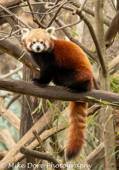 These are absolutely, definitely one of my favourite mammals. Red Panda Cute, Panda Painting, Panda Drawing, Charley Harper, Red Pandas, Art Studies, Otters, Adorable Animals, Mammals