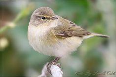 Chiffchaff Warbler (Phylloscopus collybita)-دخلة الشفشاف | by Sameh Odeh