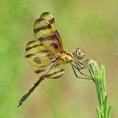 Image by Vicki DeLoach A July Halloween pennant  #beautiful #dragonflies #nature #photography #wings #Insects #BeautifulNow