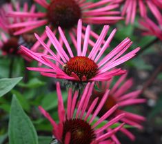 """Burgundy Fireworks Coneflower, This unique coneflower is the culmination of five generations of breeding over ten years and combines three different coneflower species: Echinacea laevigata, E. purpurea, and E. tennesseensis. 'Burgundy Fireworks' has the vigor and stout stems of Echinacea purpurea, but at less than 18"""" tall by wide, it is more compact than many selections currently in the marketplace. The stems remain sturdy even on pot-grown plants."""