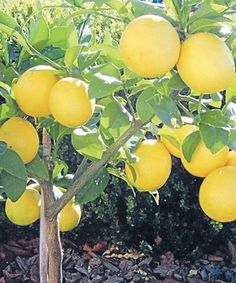 Citrus tree care.  When to trim, how to trim and pest control