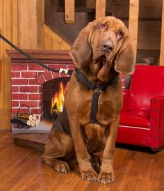 Arent bloodhounds the best? Follow bloodhounds%2cdogs for daily bloodhound pics.  . Whats your animal friends name let us know   tag someone who would enjoy this acct! . . . credit to respective owner - DM for cred  #bloodhoundmix #bloodhoundsig #bloodhoundpride #bloodhoundssc #bloodhoundgang #bloodhoundgram #bloodhoundsrock #bloodhoundpuppy #bloodhoundsofig #bloodhoundlove #bloodhoundofinstagram #bloodhoundirons #bloodhoundsofinstagram #lovemyhounds #petlovers #lovemybloodhound…