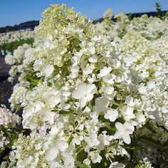 By panicle hydrangea standards, this cultivar is downright tiny, reaching only…