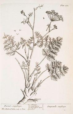 Burnet saxifrage  [Pimpinella saxifraga.] (1739)