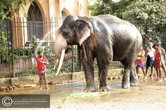 a great tusker getting a shower this time by the mahout. it stands tall whilst enjoying the fresh water in the mid-day hot sun prior to the commencement of the Kandy perahera