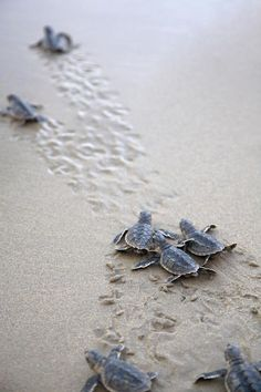 Baby Turtles heading to sea to have their first diving experience. A Breathtaking moment for them for sure.