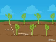 Comment faire pousser du céleri