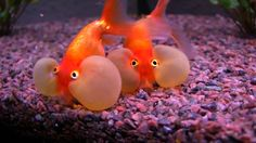 Bubble Eye Goldfish. PH: 7.0-7.6 Never Below 6.8. Ammonia: Small Amounts but little as possible. Males tend to be longer and thinner. Slow Eaters no commit goldfish. *Will get to 8 inches* Bubbles are easily popped.