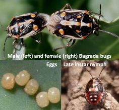 A Serious Word aboutBAGRADA BUGS--This blog is from Southern California, but they have been attacking kale, cauliflower and other brassicas here in Sacramento as well