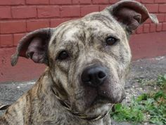 URGENT-High-kill shelter. Brooklyn Center  JANET - A0972516  FEMALE, BR BRINDLE / WHITE, PIT BULL MIX, 1 yr