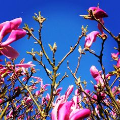 This morning ! #magnolia #flower #nature #couleur #color #flowers #pink #wellness #instaflower #pinkflowers  #coaching #lifestyle #communication #image #sky #look #colorimetrie #personnality #instagram #design #printemps #businesswoman #inspiration #creation #spring #bluesky