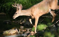 cool deer in forest stream wallpaper Check more at http://www.finewallpapers.eu/pin/3717/