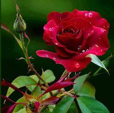 Flores e frases: ROSA VERMELHA