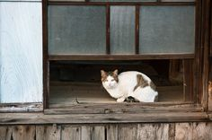 White with brown tabby patches cat in window